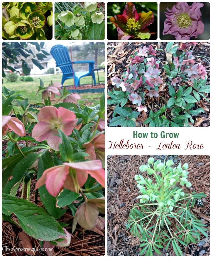 If you like the idea of a plant that flowers in winter when snow is still on the ground, try growing helleborus - also known as Lenten Rose