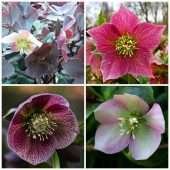 Growing Hellebore