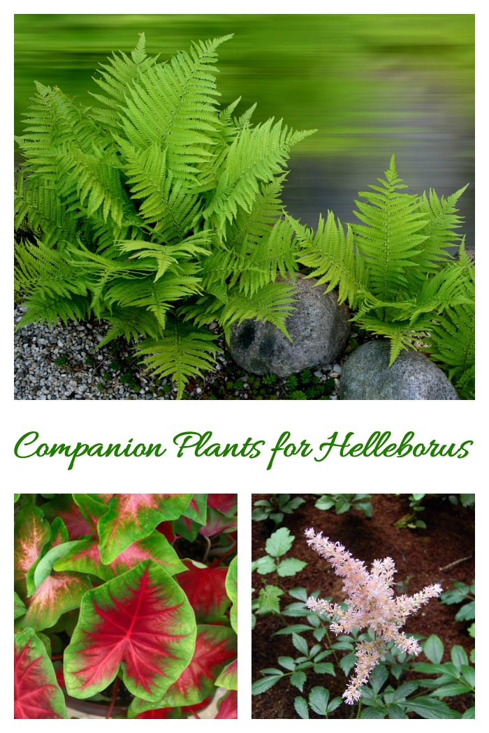 Companion plants for hellebores are those that like shady garden spots