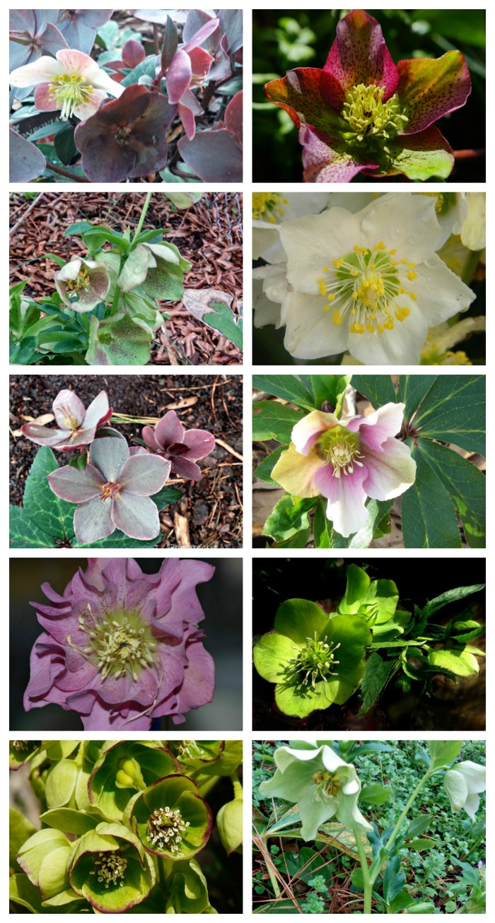 Helleborus flowers come in many colors
