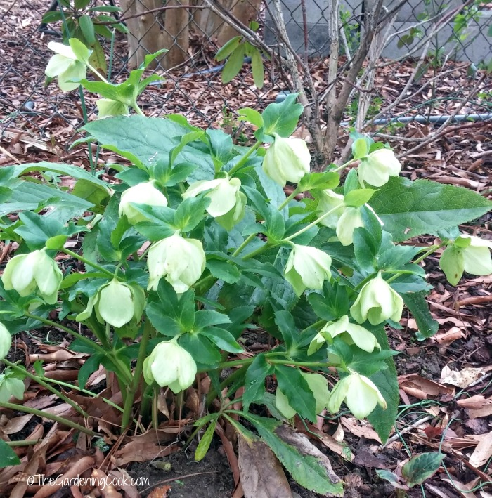 Hellebores-also known as Lenten Rose - Helleborus viridis (Green Lenten Rose)
