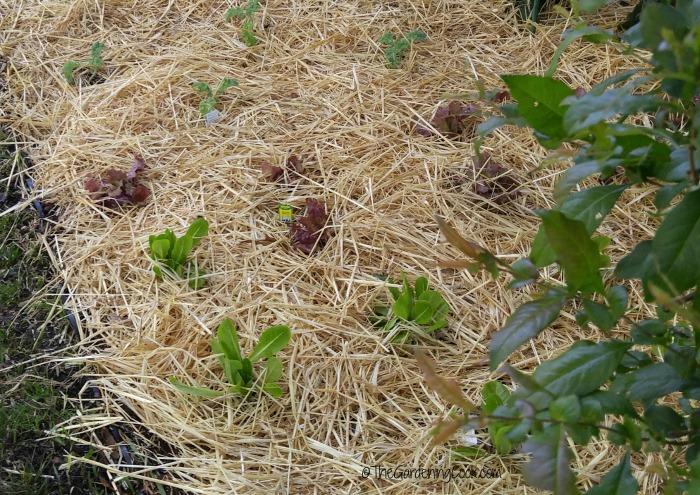 Lettuce plants in a vegetable garden