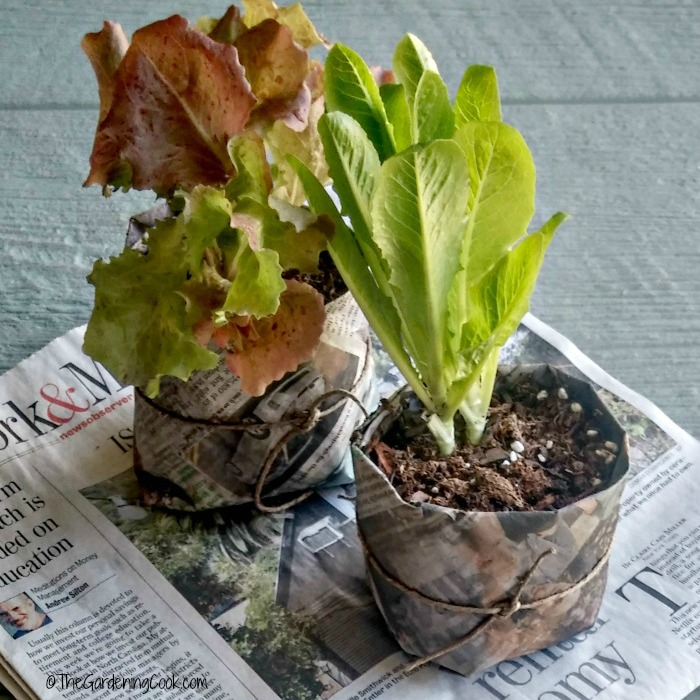 DIY newspaper seed pots with lettuce plants in them.