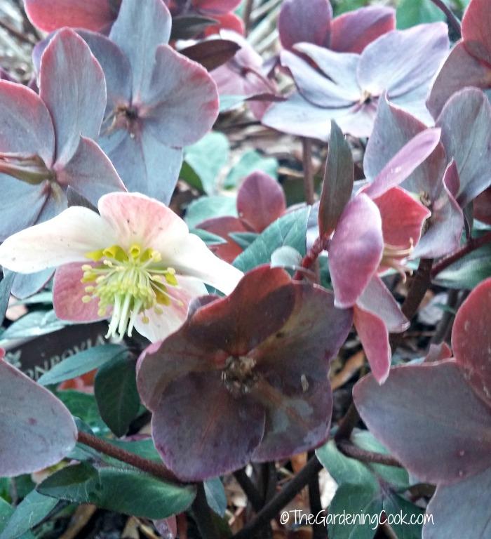 Hellebores flowers
