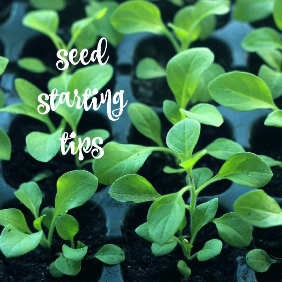 Tips for starting seeds and transplanting seedlings