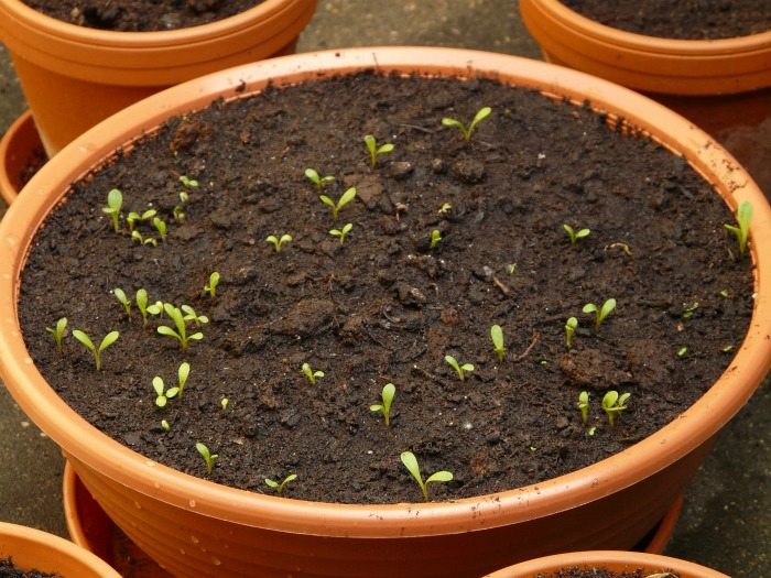 seeds sprouting in a pot