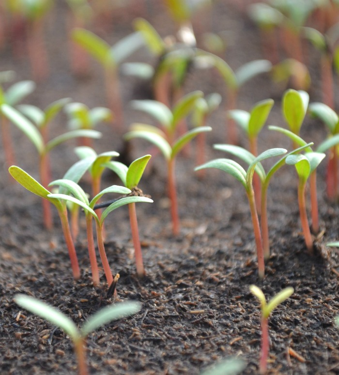tomato seedlings need light