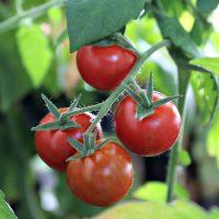 Healthy tomato tips
