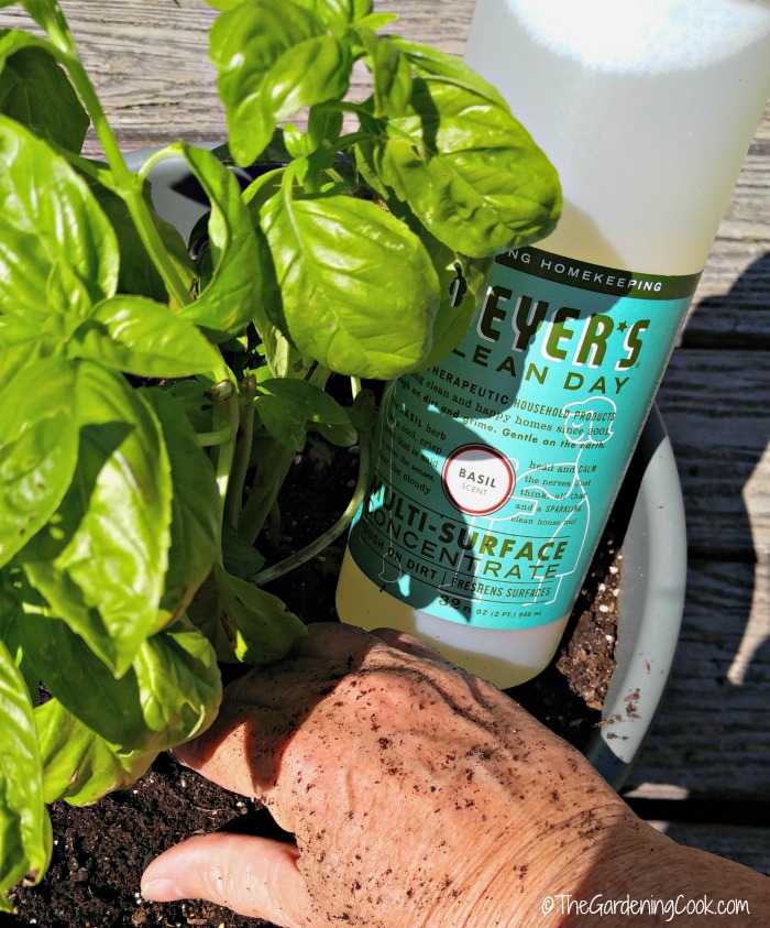 Dirty hands in a basil plant with basil cleaner