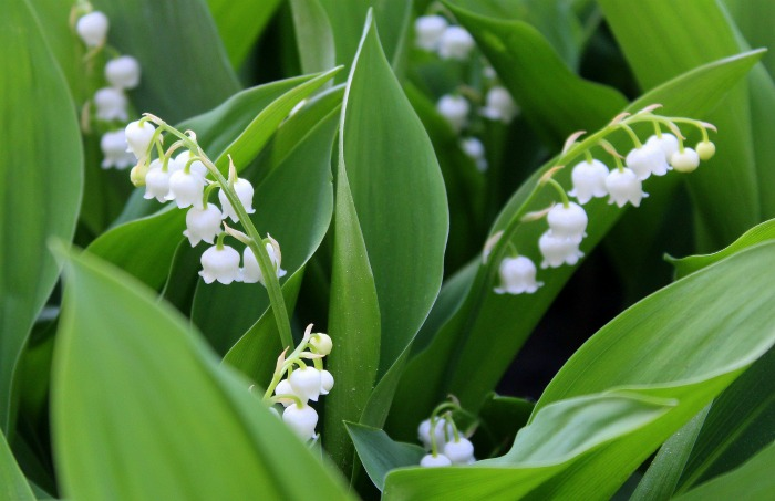 Lily of the valley is cold hardy down to zone 2~