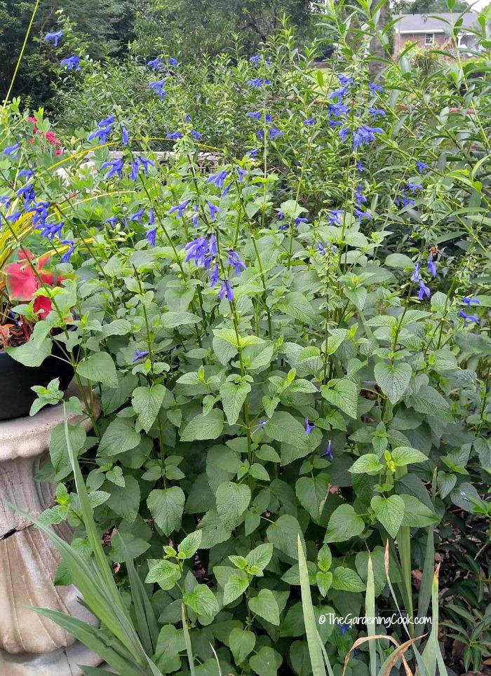 Blue Salvia flowers all summer long