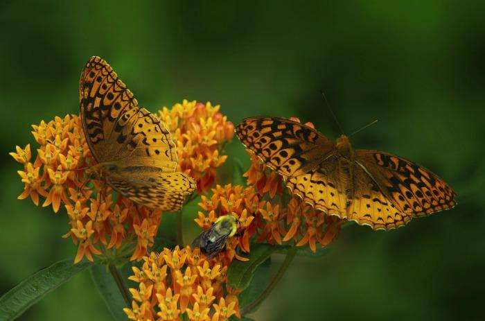Butterfly weed is hardy in zone 4-9