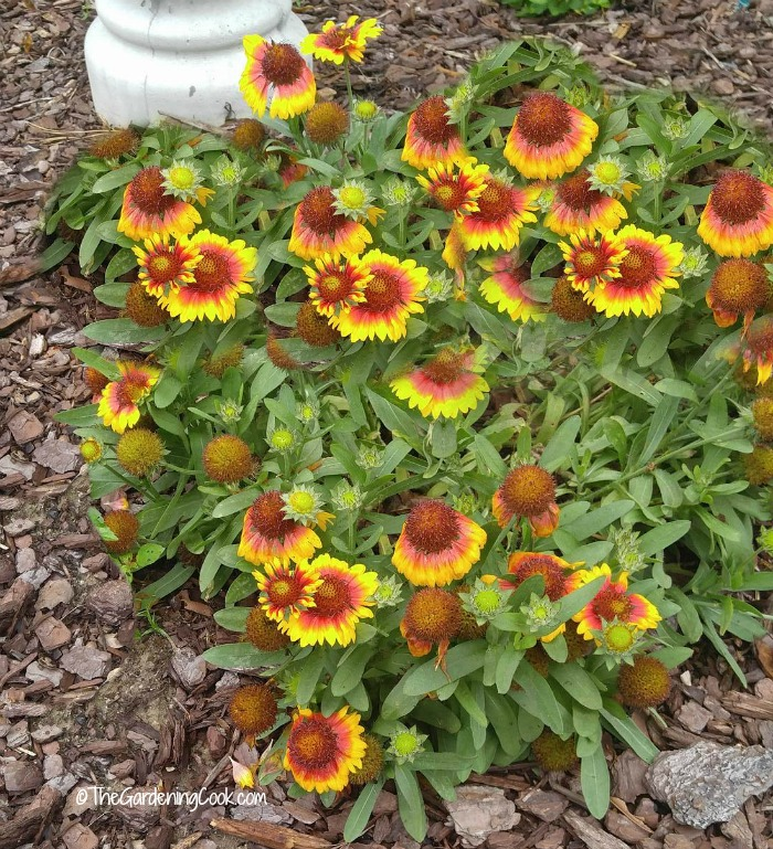 Gaillardia is also known as blanket flower.