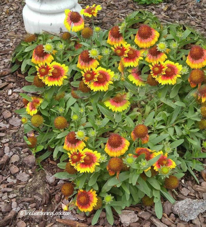 Gaillardia is also known as blanket flower.