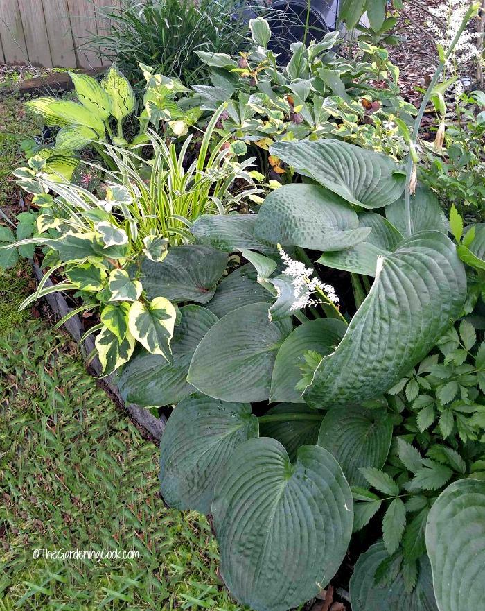 Hostas are shade loving perennials