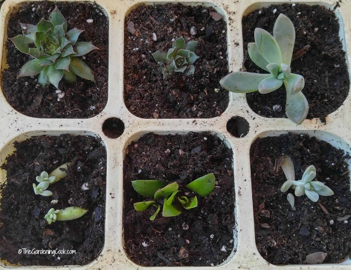 How to grow succulents from cuttings