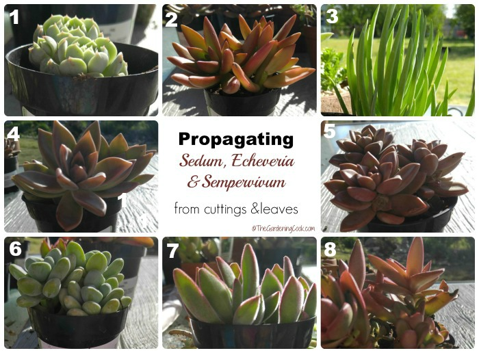 Propagating succulents is easy