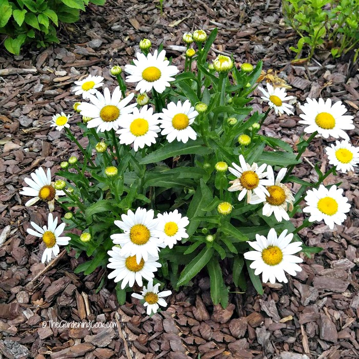 Shasta daisies will form into large mounds quickly