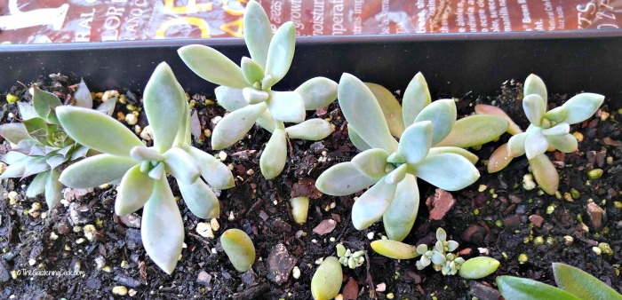Propagating succulents from cuttings