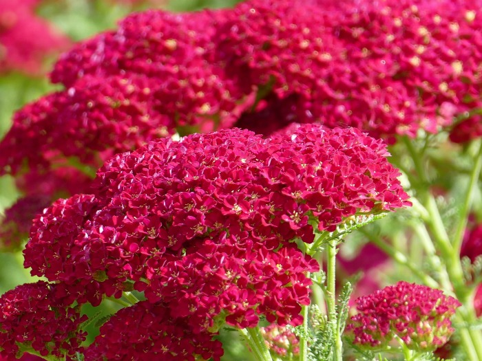 Yarrow is a really cold hardy perennial