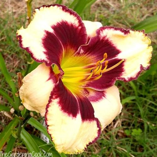 A Gathering of Angels Daylily