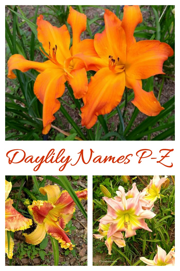 These daylilies are named starting with the letters P through Z