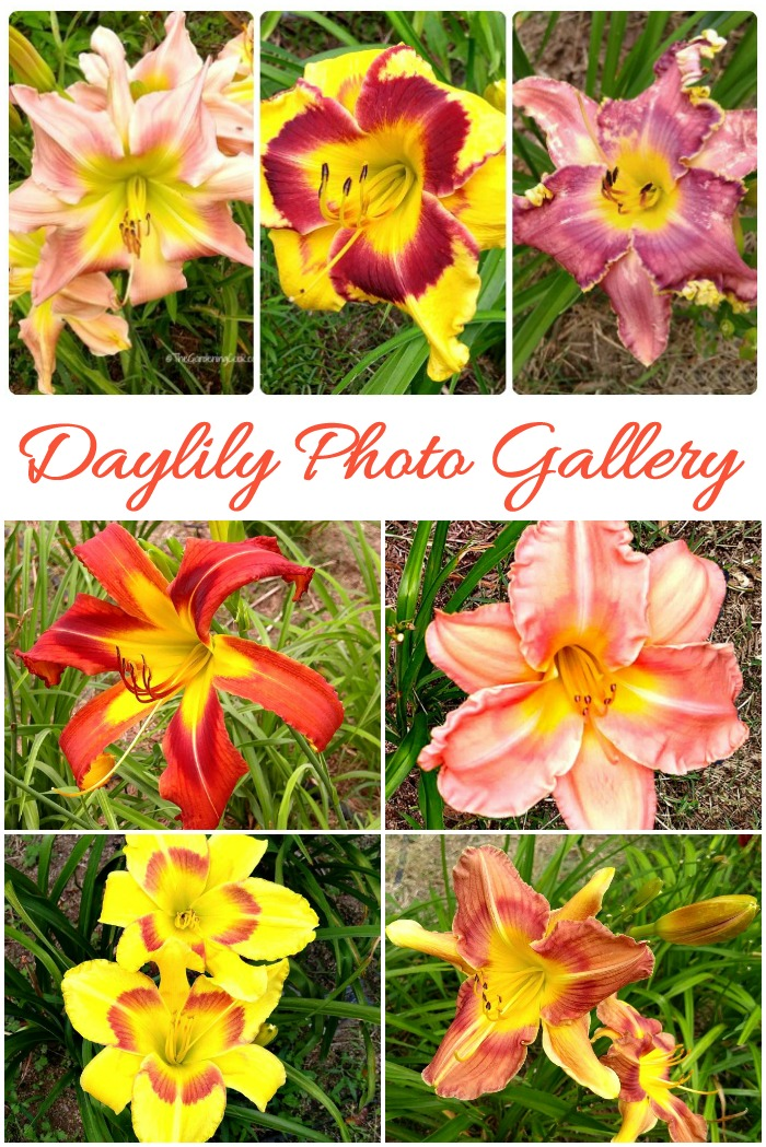 This daylily photo gallery will give you the names of many beautiful daylily varieties