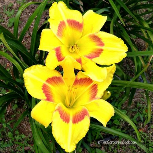 King George Daylily