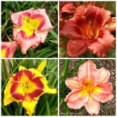 Daylily photo gallery