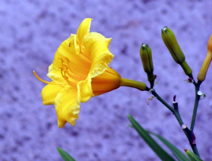 stella d'oro daylily