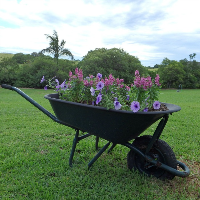 Fill an old wheelbarrow with potting soil and plant with pretty flowers for a great garden display