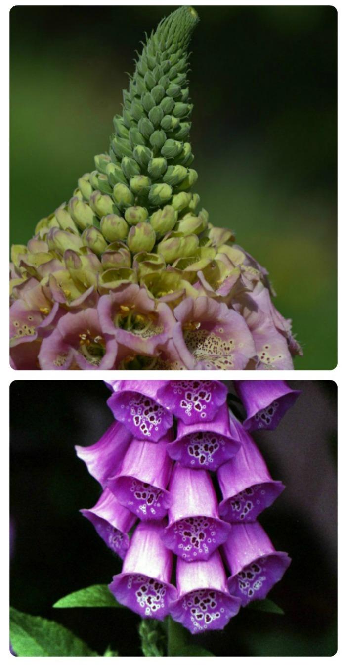 Stunning Foxglove flower