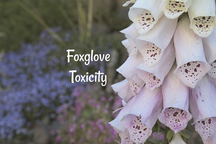 All parts of foxglove are toxic