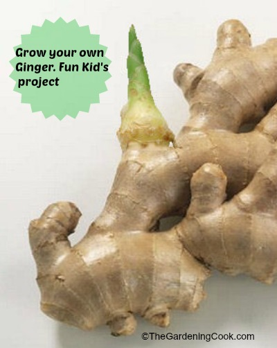 You can grow ginger easily from an existing piece.