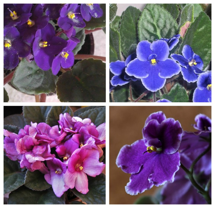African violets flower colors