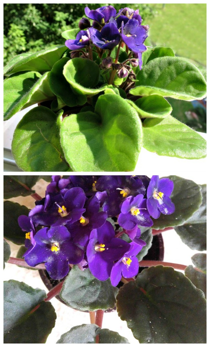 African violets have many colors of flowers and the leaves vary too.