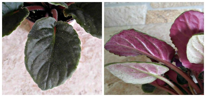 The underside of the leaf of African violets can be a different color
