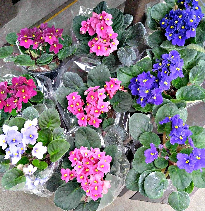 Shopping for African violets