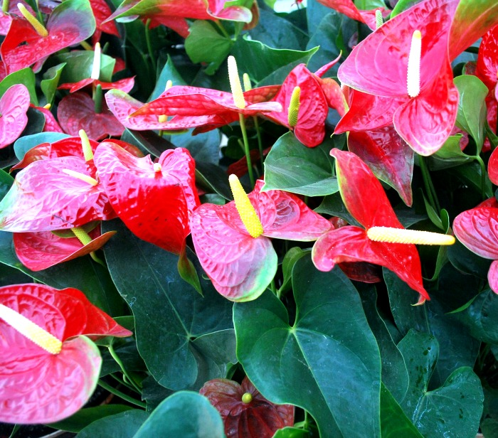 Anthurium plants can take very low light and still flower in doors.