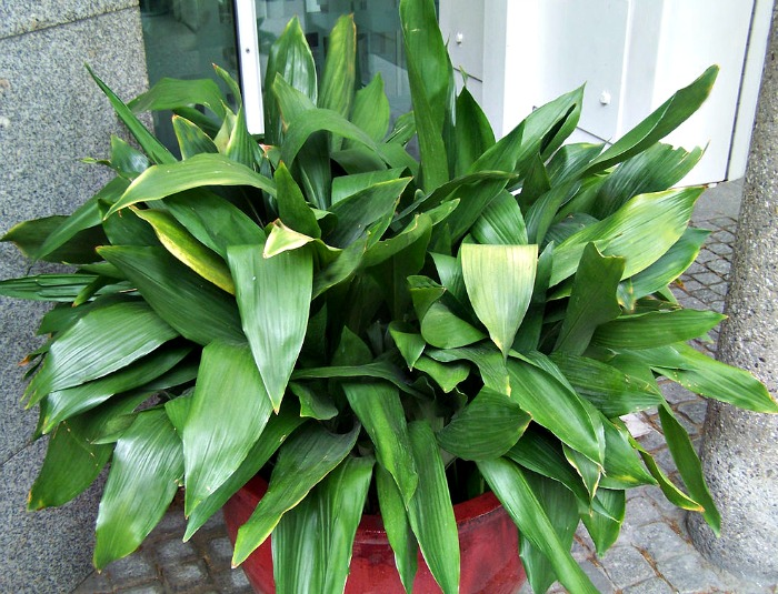 Aspidistra is known as the cast iron plant for good reason. It can take a lot of neglect.