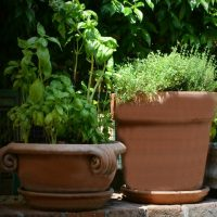 Cleaned clay pots with herbs