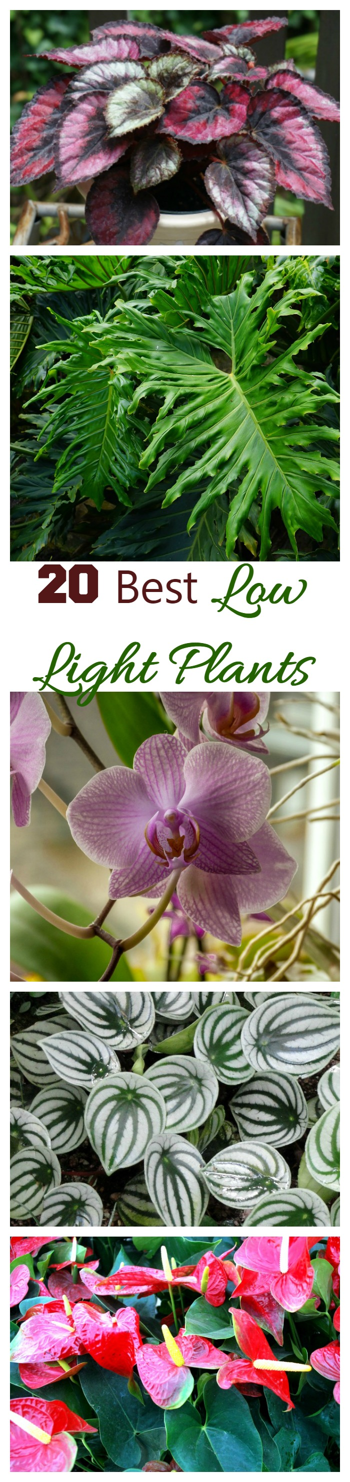 These 20 low light indoor plants can grow in less than optimal light conditions. Some require bright diffused light and other can do well even in dark corners.