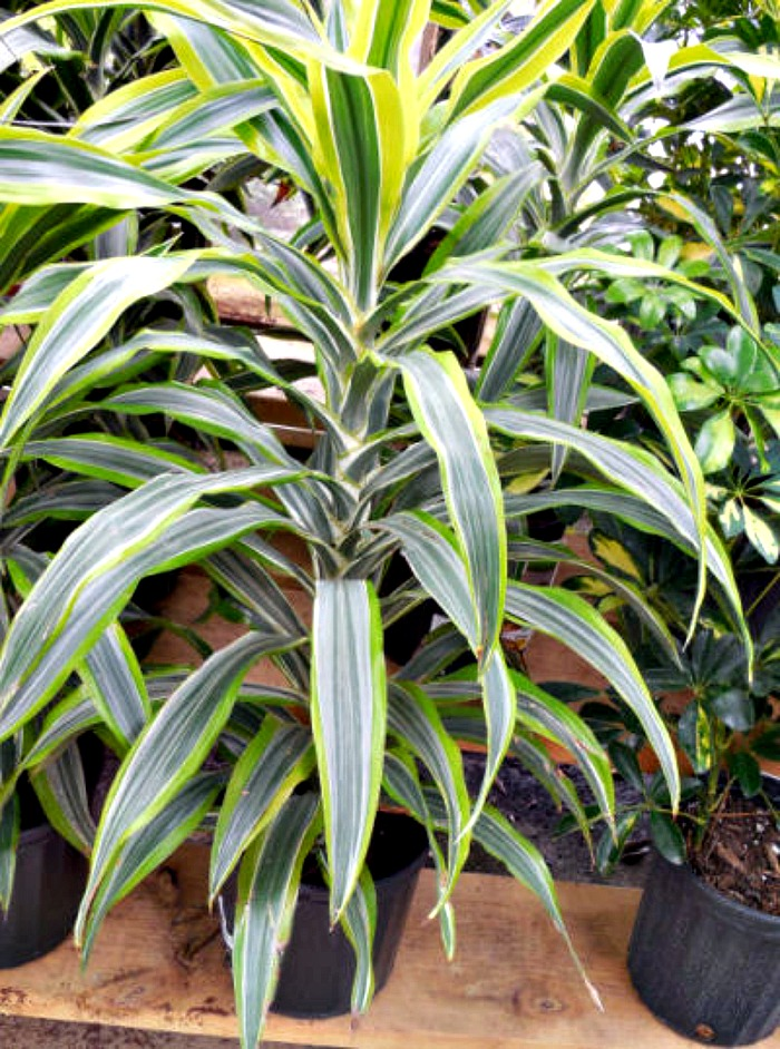 Dracena Fragrans - Corn plant will grow well indoors. Try to keep it near a window if you can to maintain the striped leaves.