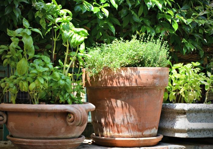 fresh herb plants