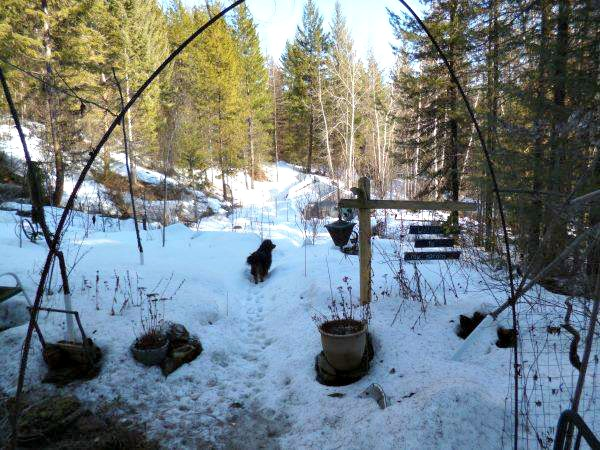 Dog romping in the snow in Grand Forkes, BC, Canada