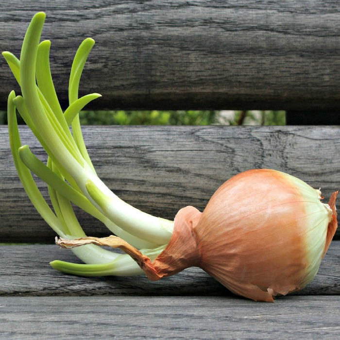 Grow onions indoors
