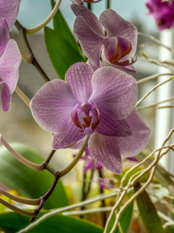 Moth orchids grow in lower light conditions indoors.