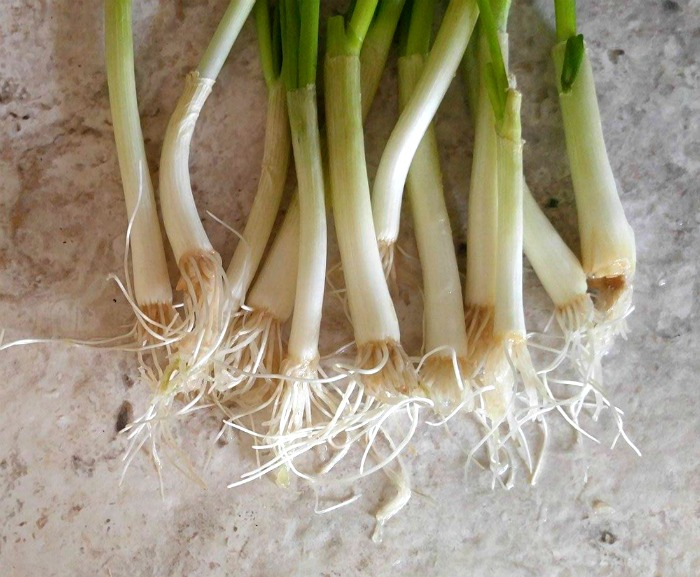 new roots on spring onions