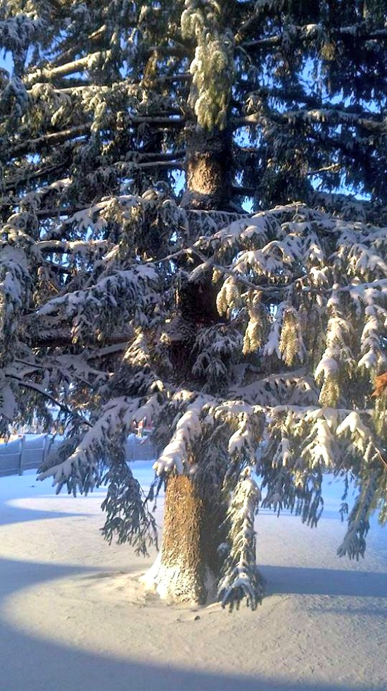 A snow covered pine tree in Ontario Canada