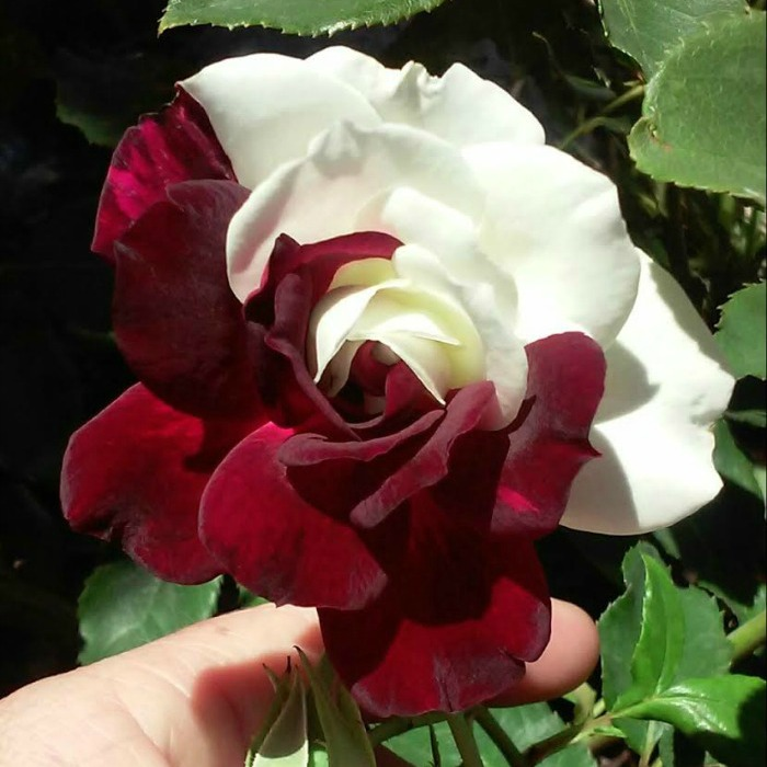 Hard To Find Hybrid Tea Rose